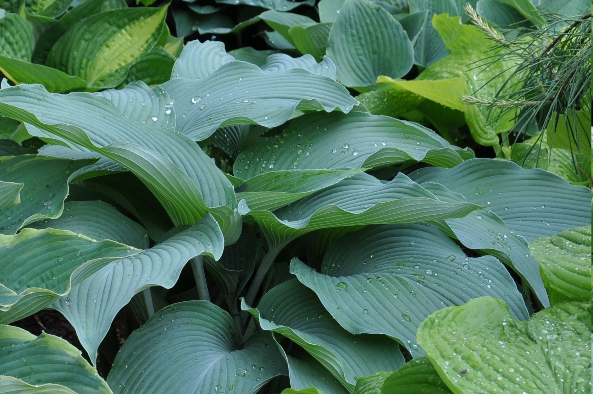 Giboshi Hill Hostas